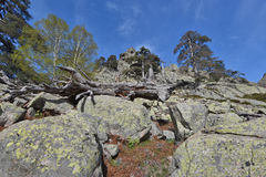 Rocky mountain slope with the Corsican pines Stock Photography
