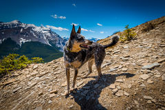 Rocky Mountain summer hiking views. Blue Heeler dog hiking in the Canadian Rocky Mountains, Nihahi Ridge Kananaskis Country Alberta Canada Royalty Free Stock Photo