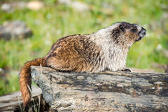 Rocky Mountains Canadian ground hog Stock Photography