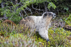 Rocky Mountains Canadian Marmot Portrait Royalty Free Stock Photography