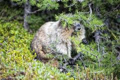 Rocky Mountains Canadian Marmot Portrait Stock Photos