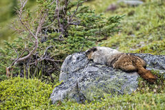 Rocky Mountains Canadian Marmot Portrait Royalty Free Stock Image