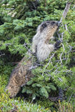 Rocky Mountains Canadian Marmot Portrait Stock Images