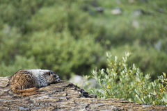 Rocky Mountains Canadian Marmot Portrait Stock Photography