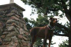 Rocky Mountains a Denver Nella priorità alta è un doberman roccioso e marrone fotografia stock libera da diritti