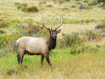 Rocky Mountains Elk Lizenzfreie Stockbilder