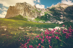Rocky Mountains and green alpine valley with pink flowers Landscape Stock Image