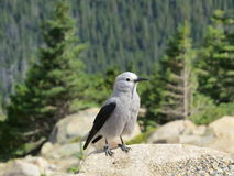 Rocky Mountains Grey Jay Stockfotos