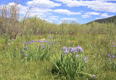 Rocky Mountains wild flowers Royalty Free Stock Photography