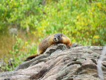 Rocky Mountains Yellow inchou a marmota Fotografia de Stock