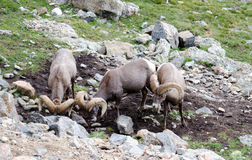 Rocky mountian big horn sheep Stock Images
