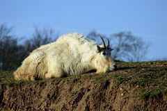 Rocky Mountin Goat (Oreamnos americanus). The Mountain Goat (Oreamnos americanus), also known as the Rocky Mountain Goat, is a large hoofed mammal found only in Stock Image