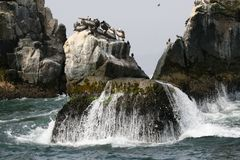 Rocky outcrops with Peruvian Pelicans in Peru stock images