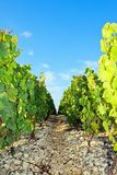 Rocky path near vineyards Royalty Free Stock Images