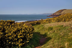 Rocky Pembrokeshire Coastline and path above yellow Gorse, Manorbier Bay Royalty Free Stock Images