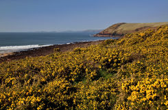 Rocky Pembrokeshire Coastline and path above yellow Gorse, Manorbier Bay Stock Image