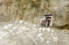Rocky Raccoon Royalty Free Stock Photography