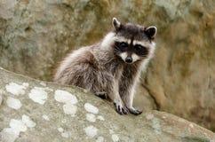 Rocky Raccoon stock photo