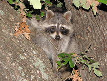 Rocky Raccoon. We were camping and this raccoon decided he wanted to be our mascot for the weekend Royalty Free Stock Photography