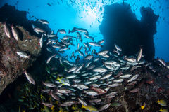 Rocky Reef och skolgångfisk royaltyfria bilder