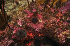 Encrusting invertebrates of rocky reef Royalty Free Stock Photography