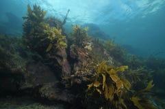 Rocky reef with some kelp. Rocky reef with some brown stalked kelp Ecklonia radiata growing on its walls Stock Photo
