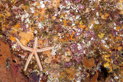 Rocky Reef with Starfish Royalty Free Stock Image