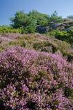 Rocky Scandinavian-landschap met Heide en Pijnbomen Stock Foto's