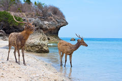 Rocky seacoast and deer Stock Image
