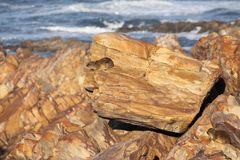 Rocky shore with textured rocks and a lone Cape Hyrax. South African coastal rocky scene with beautifully textured rocks populated by Cape Hyrax , also known as Stock Image