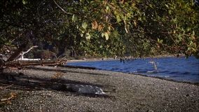 Small waves coming into rocky shore under large tree. Rocky shore and tree near Puget sound stock footage