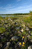 Rocky shoreline and correopsis Royalty Free Stock Images