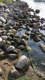 Rocky Shoreline. This is a rocky shoreline with green seaweeds at the beach at the lake Stock Photos