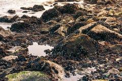 Rocky Shoreline mit den Muskeln und dichten dem Rankenfußkrebs-niedrigeren Bereich wachsen lizenzfreies stockbild