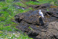 Rocky shores & seagull Royalty Free Stock Image