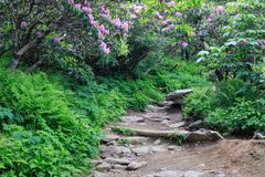 Rocky Trail North Carolina Mountains. Rocky hiking trail through wild pink catawba rhododendron plants in route to Craggy Gardens near Asheville in the North stock photography