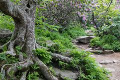 Rocky Trail to Craggy Gardens Asheville North Carolina. Rocky trail through wild catawba rhododendrons to Craggy Gardens off the Blue Ridge Parkway near Stock Images