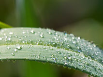Rocío de la mañana en la hoja verde del carex Imagen de archivo libre de regalías