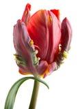 Rococó rojo y verde del tulipán con la hoja Foto de archivo libre de regalías