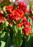 Rococós vermelhos bonitos do papagaio da tulipa fotografia de stock