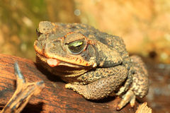 Rococo Toad. (Bufo paracnemis) in south america stock images