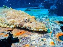 Rocodile ψάρια Ð ¡ Στοκ φωτογραφία με δικαίωμα ελεύθερης χρήσης