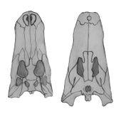 Сrocodile cranium bones. Hand drawing sketch illustration. Stock Photography