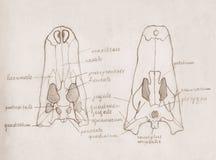 Сrocodile cranium. Hand drawing sketch illustration. Royalty Free Stock Photos