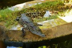 Сrocodile. Crocodile in the artificial pond Stock Photography