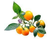 Rocoto Amarillo C pubescens, wegen Royalty-vrije Stock Afbeeldingen