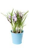 Rocus do ¡ de Ð no vaso de flores Imagens de Stock