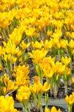 Rocuses amarelos do ¡ de Ð Imagem de Stock