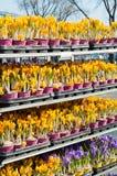 Rocuses do ¡ de Ð na loja Fotos de Stock