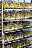 Rocuses do ¡ de Ð na loja Imagem de Stock Royalty Free